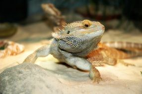 cold-blooded bearded dragon