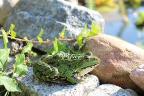 green frog sitting on the stone