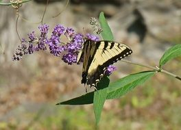 tiger swallowtail in wildlife