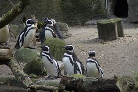 Penguins behind the enclosure