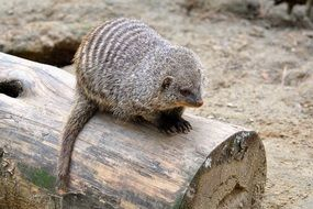 mongoose on a tree trunk