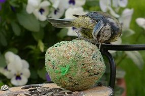 foraging blue tit on the fat ball
