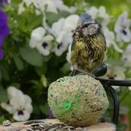 hungry blue tit on the fat ball