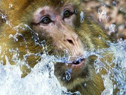 Barbary Ape Monkey portrait