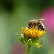 honey bee on a yellow flower on a blurred background