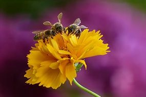 honey bees on the yellow flower