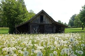 wooden building in a dandelion meadow