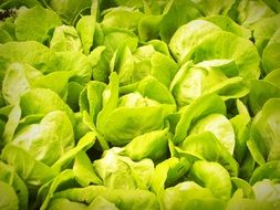 lettuce growing, hydroponic technology
