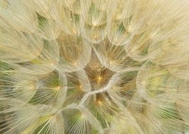 graphic drawing of a dandelion seed head