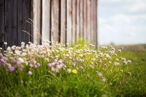 wildflowers grow around the barn at spring