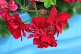 hanging red geranium