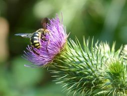 hornet on a thistle flower close-up