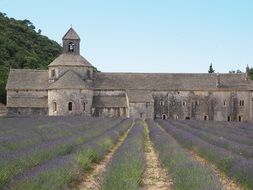 monastery lavender cultivation