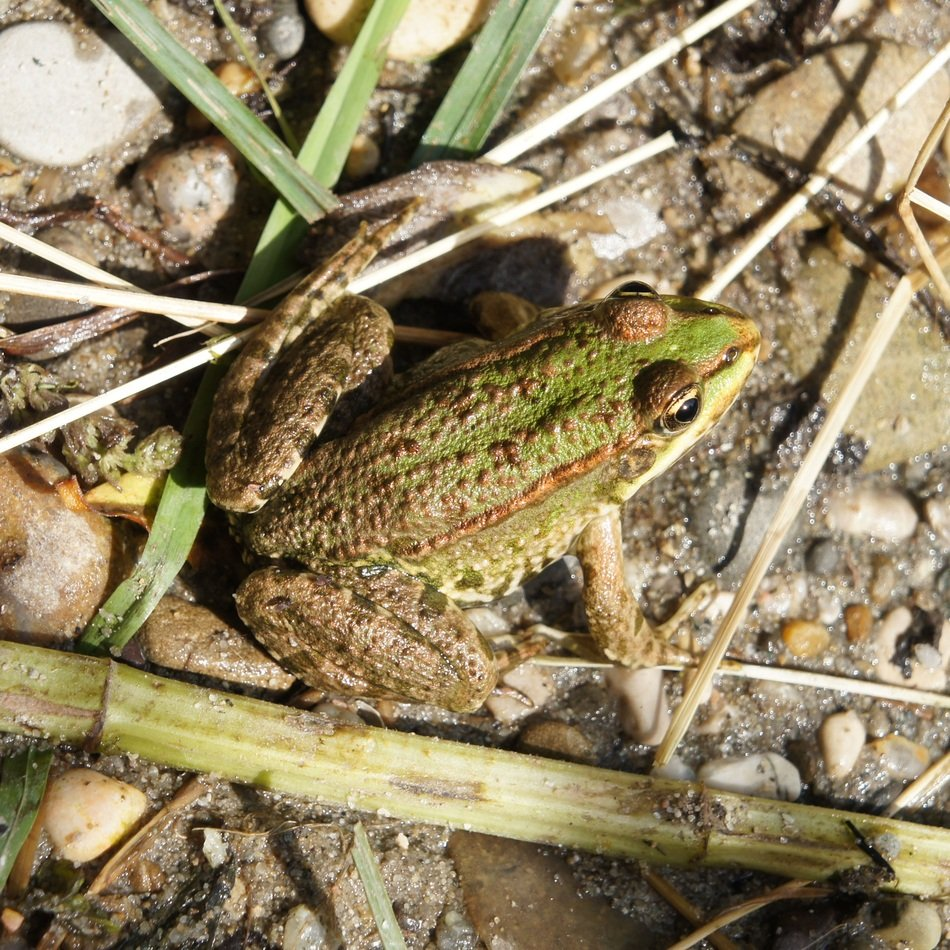 common Frog on ground