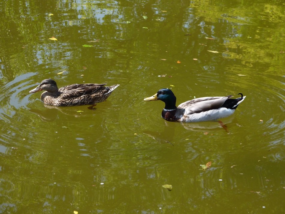 Mallards on green water in Italy