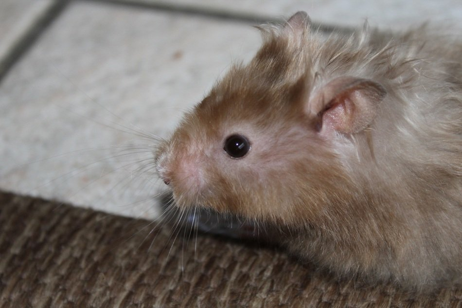 cute domestic hamster