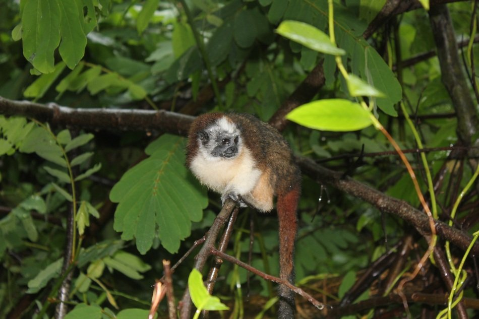 delightful marmoset Monkey in wild