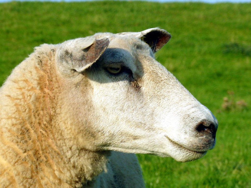 Sheep head, side view, close up