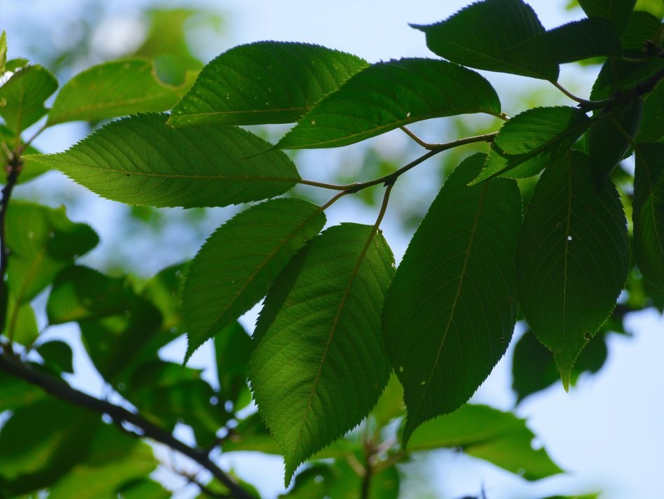 Closeup photo of Green Cherry Leaves