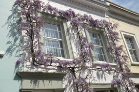 light purple wisteria on the facade of a white building