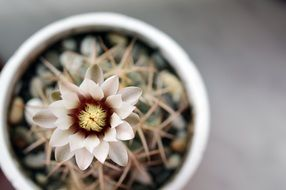 flowering cactus in a pot