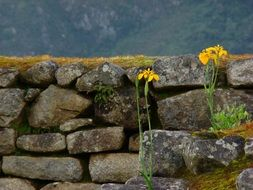 yellow flowers on a background of a stone wall in Peru