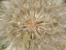 closeup of a fluffy dandelion seed head