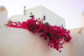 Picture of Santorini's Flowers
