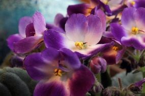 Saintpaulia, African Violet, purple and white Flowers