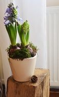 Hyacinth, potted Flowers indoor