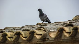 Pigeon on the old Roof