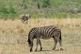 striped wild zebra in safari