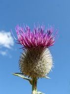 purple thistle flower against blue sky