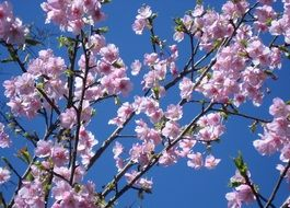 blooming cherry on a background of blue sky
