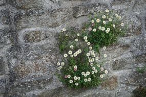 growing white flowers on a wall