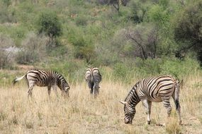 zebras in the park of Johannesburg