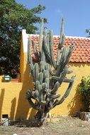 green huge cactus in the yard