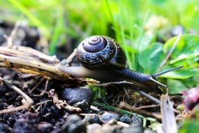 macro photo of living snail in nature