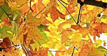 varicoloured yellow maple leaves