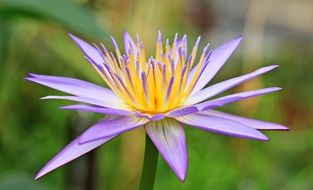 purple water lily flower on a background of green plants
