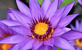 closeup of a purple water lily