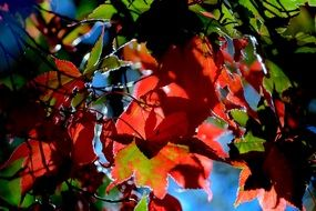 Autumn Leaves Foliage Red Fall