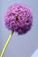 flowering purple ornamental onion