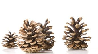 pine cones for christmas decorations