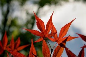 Maple Leaves Red Fall Autumn