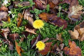 dandelions among green grass and dry leaves
