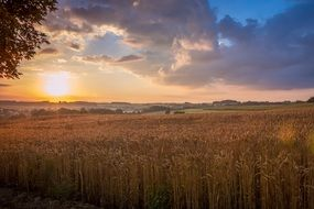 ripe cereal field at sunrise