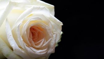 delicate white rose on the black background