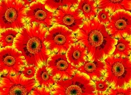 wallpaper with gerbera flowers