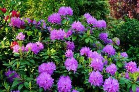 azalea bush with purple flowers